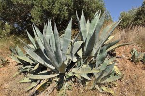 Agave: Natures Best Biofuel