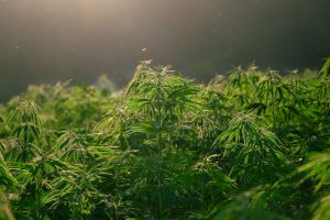 Old Dominion May Legalize Marijuana if Lawmakers Agree, Too